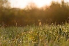 日出通过高草在有薄雾的早晨在春天 免版税图库摄影
