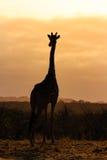 日出长颈鹿 库存照片