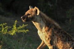 日出闪闪发光鬣狗 库存图片