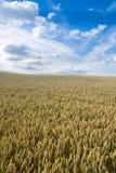 日域夏天麦子 库存照片