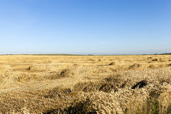 日域热夏天麦子 夏天 免版税库存图片