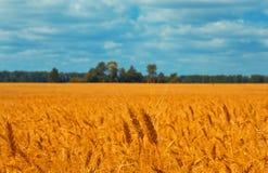 日域热夏天麦子 美好的五颜六色的风景 水平的艺术背景 库存图片