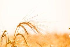 日域热夏天麦子 草甸麦田的成熟的耳朵背景  免版税图库摄影