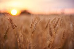 日域热夏天麦子 金黄麦子关闭的耳朵 美好的自然日落风景 在光亮的阳光下的农村风景 背景  库存图片