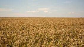 日域热夏天麦子 金黄麦子关闭的耳朵 美好的自然日落风景 在光亮的阳光下的农村风景 库存图片