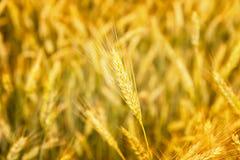 日域热夏天麦子 金黄麦子关闭的耳朵 草甸麦田的成熟的耳朵背景  富有的收获概念 漂流 图库摄影