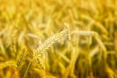 日域热夏天麦子 金黄麦子关闭的耳朵 草甸麦田的成熟的耳朵背景  富有的收获概念 漂流 免版税库存图片