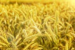 日域热夏天麦子 金黄麦子关闭的耳朵 草甸麦田的成熟的耳朵背景  富有的收获概念 漂流 免版税库存照片