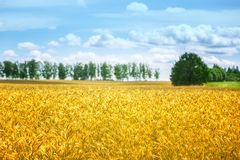日域热夏天麦子 金黄麦子关闭的耳朵 草甸麦田的成熟的耳朵背景  富有的收获概念 漂流 库存图片