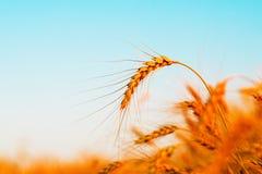 日域热夏天麦子 金黄麦子的耳朵 库存图片