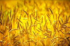 日域热夏天麦子 金黄麦子关闭的耳朵 富有的收获概念 免版税库存照片