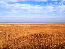 日域热夏天麦子 金黄麦子关闭的耳朵 美好的自然日落风景 在光亮的阳光下的农村风景 图库摄影