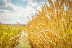 日域热夏天麦子 金黄麦子关闭的耳朵 领域晴朗的明亮的天 麦田的成熟的耳朵背景  免版税库存照片