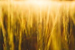 日域热夏天麦子 金黄麦子关闭的耳朵 库存照片