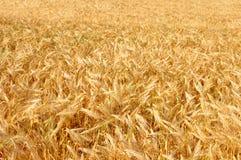 日域热夏天麦子 金黄麦子关闭的耳朵 ripeni背景  库存图片