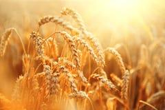 日域热夏天麦子 金黄麦子特写镜头的耳朵 图库摄影