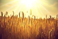 日域热夏天麦子 金黄麦子特写镜头的耳朵 免版税库存照片