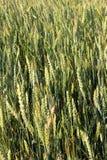 日域热夏天麦子 钉的背景 免版税库存照片