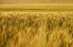 日域热夏天麦子 麦子庄稼 库存照片