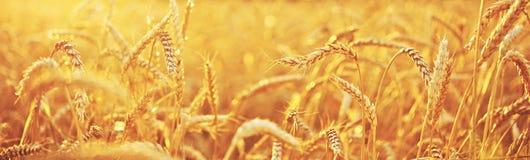 日域热夏天麦子 免版税图库摄影