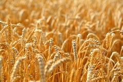日域热夏天麦子 免版税库存图片