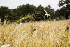 日域热夏天麦子 库存照片