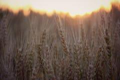 日域热夏天麦子 免版税库存照片