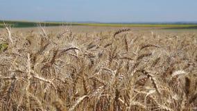 日域晴朗的麦子 股票录像