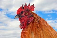 日好的雄鸡 库存图片