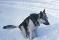 日德国牧羊犬雪 库存照片