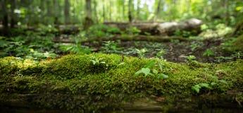 日志全景与青苔和发芽树的在森林里 库存图片