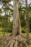 日志老在sa的一个公园australien与大根的产树胶之树 免版税库存照片