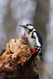日志腐烂的啄木鸟 图库摄影