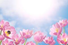 日春天晴朗的郁金香 库存照片
