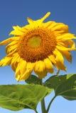 日晴朗夏天的向日葵 免版税库存照片