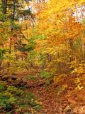 日晴朗森林的槭树 免版税库存照片
