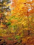 日晴朗森林的槭树 免版税库存图片