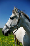 日晴朗马的纵向 库存照片