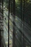 日有雾的森林 免版税库存图片
