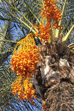 日期枣椰子结构树 免版税库存图片