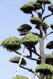 日本专业花匠修剪雪松 免版税库存图片