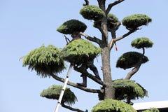 日本专业花匠修剪雪松 免版税图库摄影