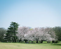 日本人佐仓在盛开的樱花在公园,东京 免版税库存照片