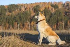 日本人在一个领域的秋田品种美丽的狗在秋天美好的黄色和绿色针叶树背景 库存图片