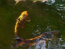 日本人游泳在池塘的Koi fishs 免版税库存照片