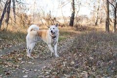 日本人秋田在步行的inu狗在树和下落的叶子中的森林里在秋天 库存图片