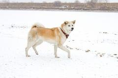 日本人秋田Inu品种审阅雪在期间降雪在冬天由乡下 库存照片