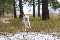 日本人秋田Inu品种愉快的嬉戏的狗在一条道路跑在森林里在树和第一雪中的早期的冬天 免版税图库摄影