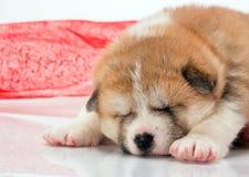 日本人秋田inu在白色的小狗睡眠 图库摄影