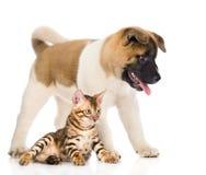 日本人秋田inu站立在孟加拉猫附近的小狗 查出 免版税库存图片